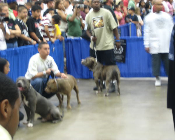 Musclehead Pitbull Kennel Sires